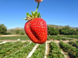 Mooihoek Boerdery Pick your Own Strawberries